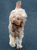 Wind blows at a dog named Ted walks along the beach on December 10 2014 in Blackpool United Kingdom High winds and large waves hit the North West...