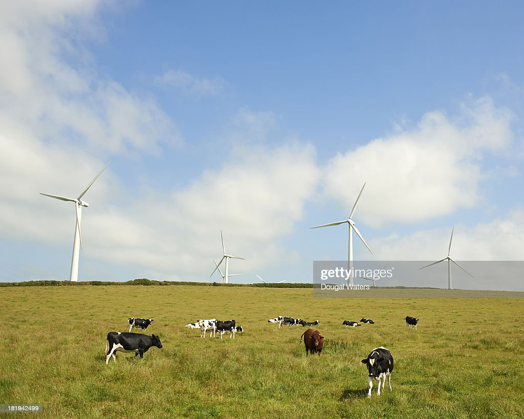 Wind farm and cows grazing in field.
