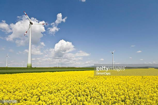 Wind turbine and rapeseed field