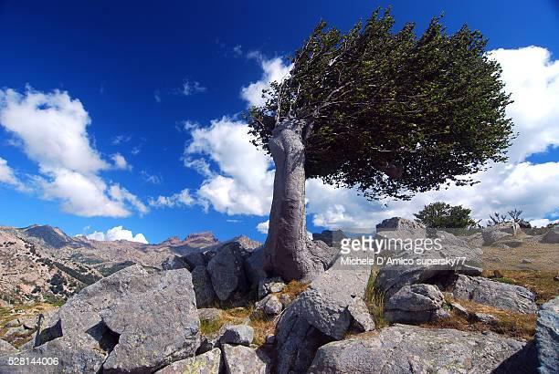 Wind-beaten beech tree