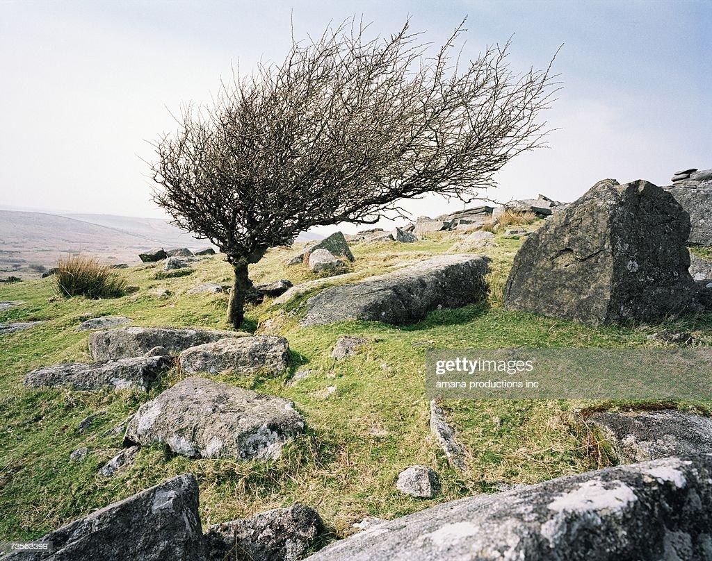 Windblown tree on rocky hillside, Bodmin Moor, Cornwall, UK
