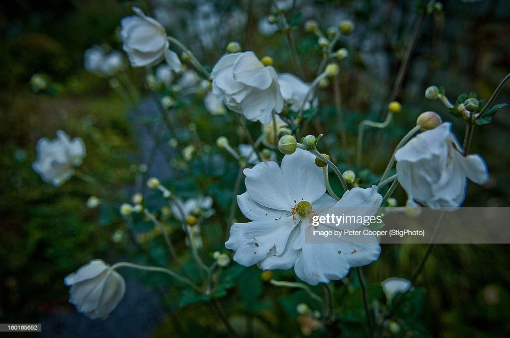 Windflowers : Stock Photo