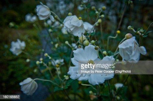 Windflowers : Bildbanksbilder