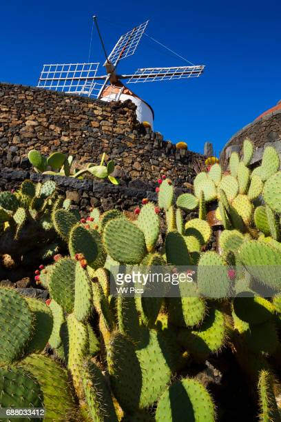 Windmill and Indian fig opuntia Jardin de Cactus of Cesar Manrique Guatiza Teguise Lanzarote Canary Islands Atlantic Ocean Spain
