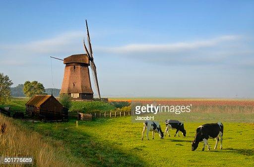 風車のチューリップと牛