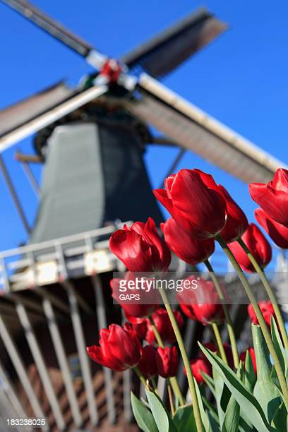 Windmill with beautiful red tulips