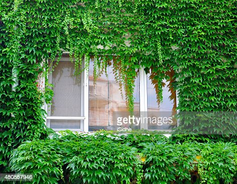 window with ivy : Stock Photo