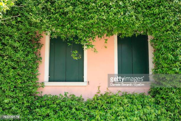 Windows Amidst Ivies Growing On House
