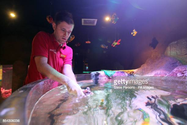 Windsor resort Aquarium Curator Iain Grieve releases one of four baby Bamboo sharks into their new home The New Duplo Nursery