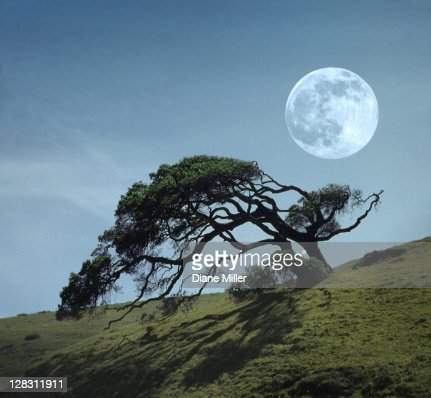 Windswept live oak tree and rising full moon at night : Stock Photo