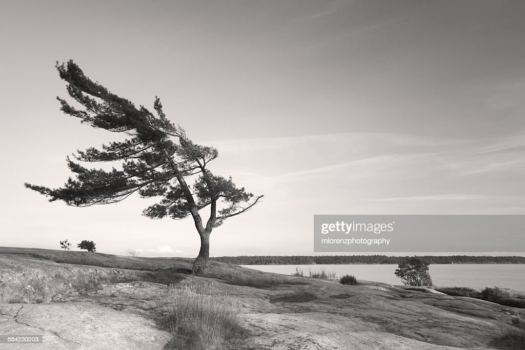 Windswept Pine In Killbear Provincial Park