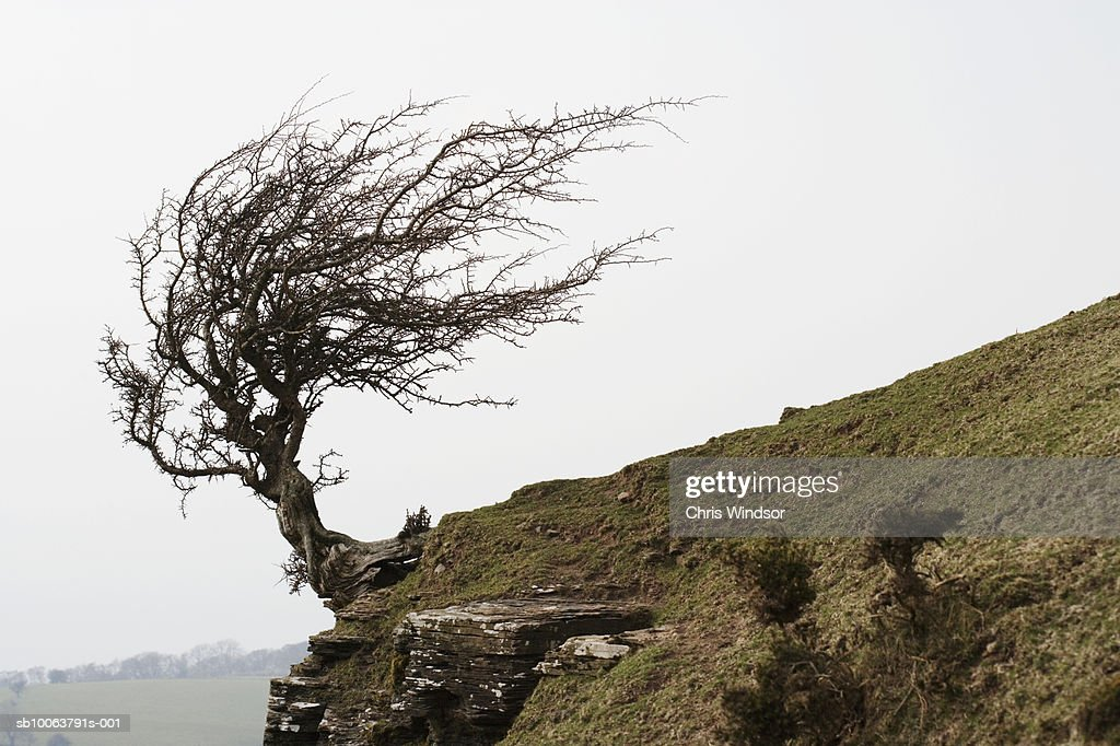 Windswept tree on hill side, moody sky : Stock Photo