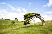 Characterful windswept tree in classic New Zealand landscape