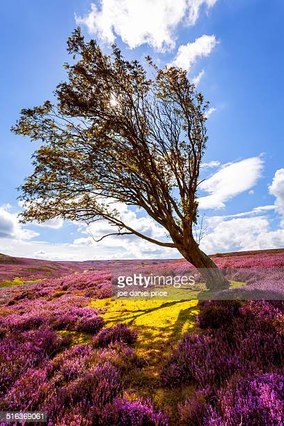 Windswept Tree, Yorkshire Dales, England