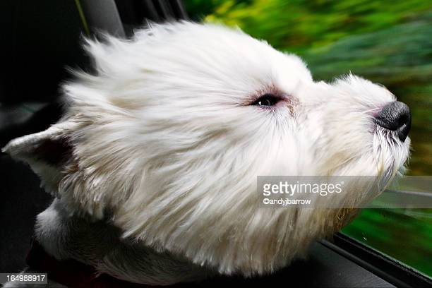 Windswept west highland white terrier