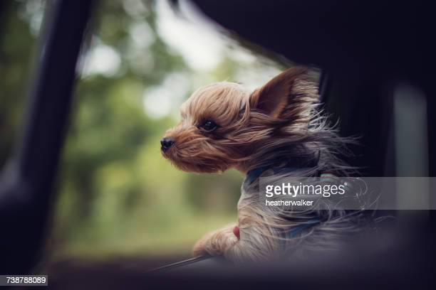 Windswept Yorkie puppy dog looking out of a car window