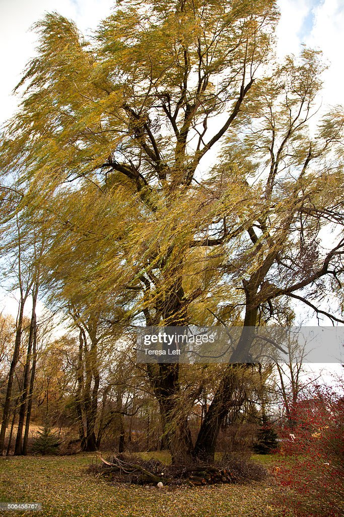 Windy weeping willow tree