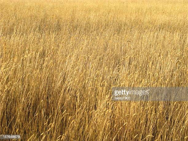 Windy Wheat Field