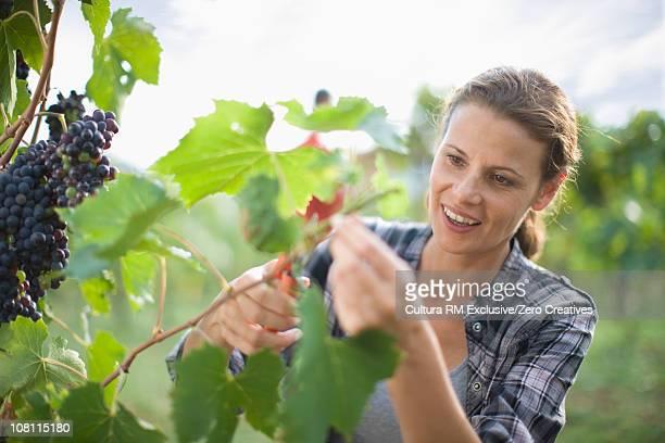 Wine crop