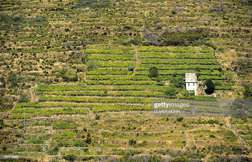 A wine field waiting to be harvested is surrounded by abandoned lands in the village of Manarola in the 'Cinque Terre' area on September 23 2013 Wine...