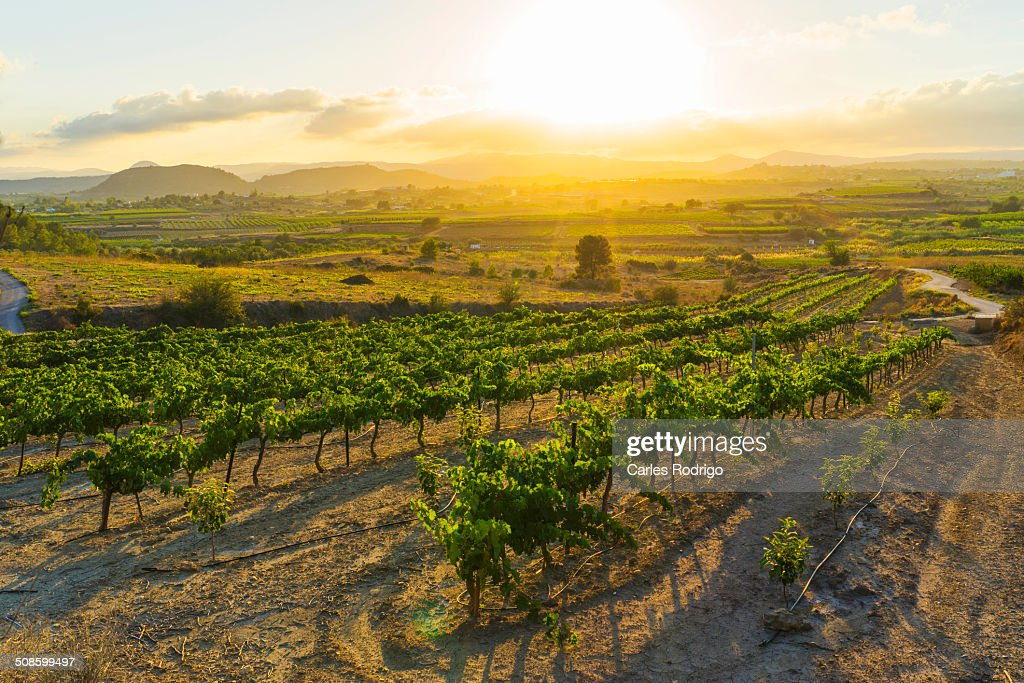 Wine grape farming field : Stock Photo