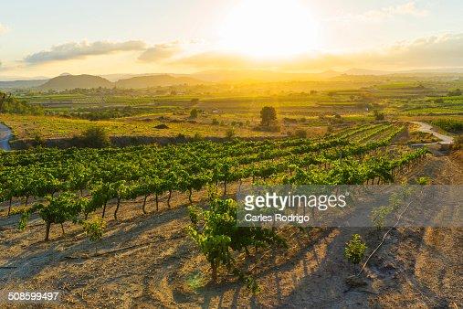 Wine grape farming field : Foto de stock