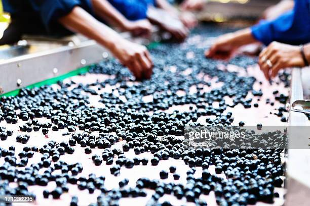 Wine grapes being hand sorted on a winery  conveyor belt