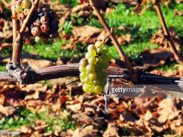 STORY 'NZEALANDWINE' BY Wine grapes grow in Marlborough on May 31 2010 Striding across her vineyard in New Zealand's picturesque Marlborough region...