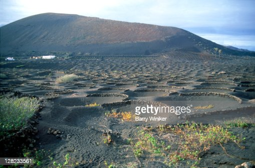 Wine grapes grown in cinder pits, Lanzarote, Canary Islands, Spain : Stock Photo