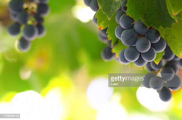 Wine Grapes | Vine Fruit