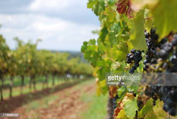 Späten Herbst Wein Reben