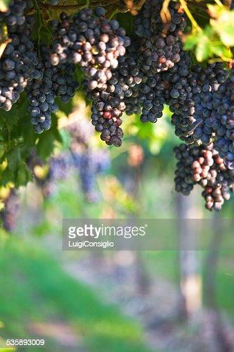 Wine Harvest : Stock Photo