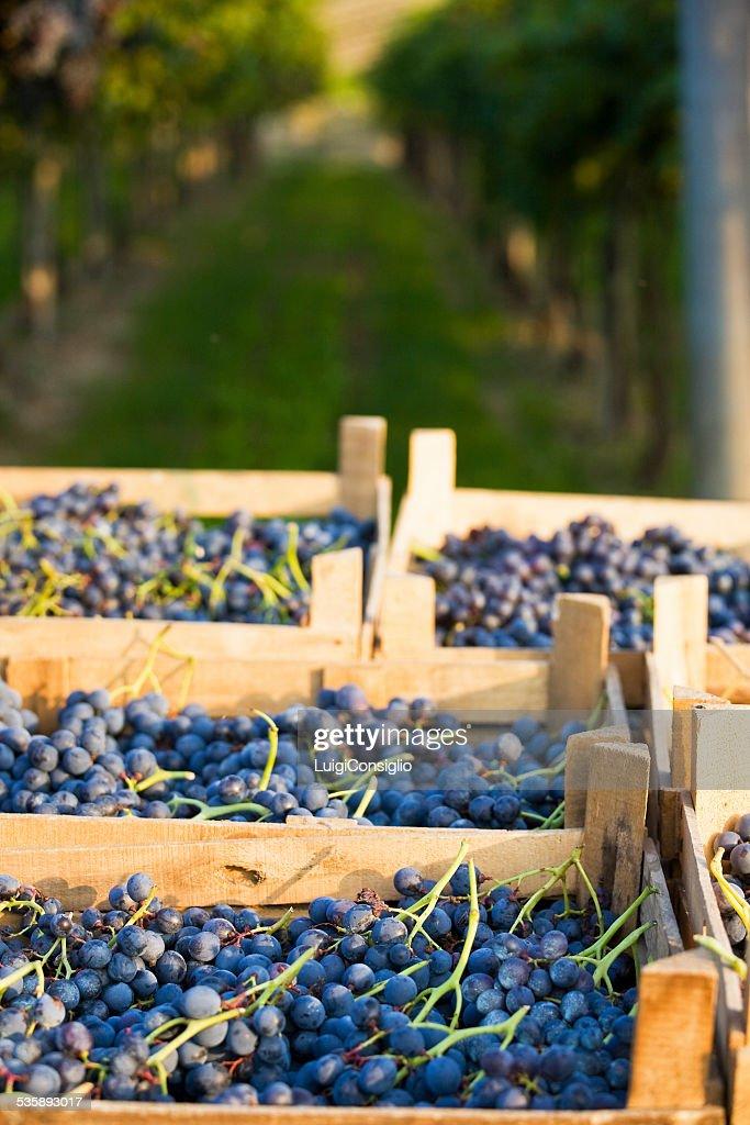 Wine Harvest : Stock-Foto
