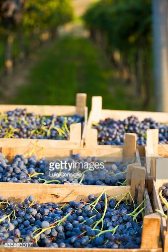 Wine Harvest : Stockfoto