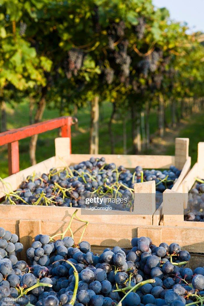 Wine Harvest : Stockfoto
