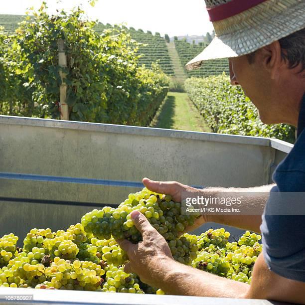 Wine maker checking grape quality during harvest