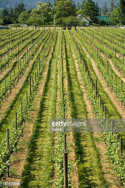 Vino Vines II