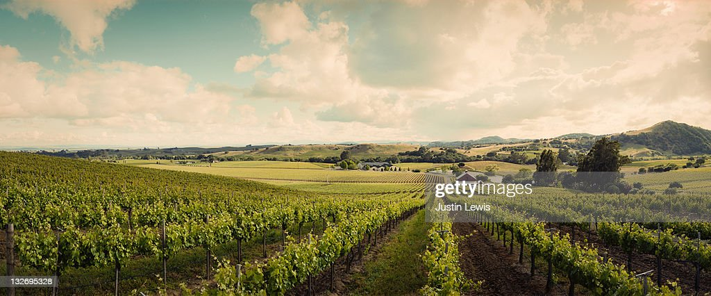 Wine vineyard shoot in Sonoma on a sunny day : Stock Photo
