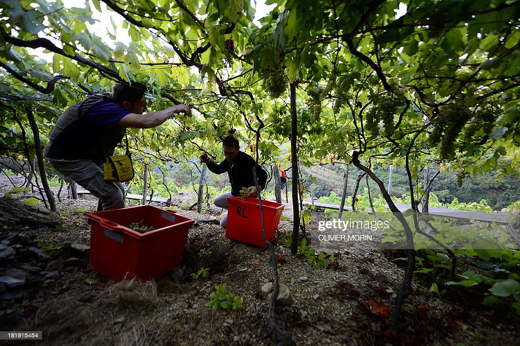 Winemaker Cesare Scorza and workers climb up a wine field to harvest grapes in the village of Manarola in the 'Cinque Terre' area on September 23, 2013. Wine picking is atypical due to the steep land, close to 50 degrees in some areas. AFP PHOTO / OLIVIER MORIN