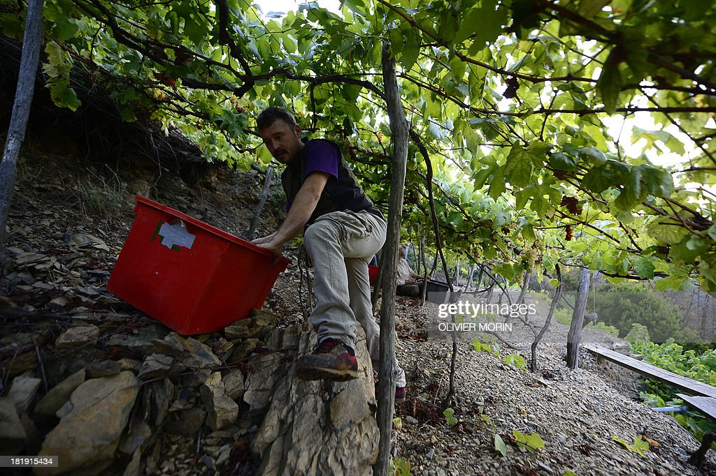 Winemaker Cesare Scorza climbs up a wine field to harvest grapes in the village of Manarola in the 'Cinque Terre' area on September 23, 2013. Wine picking is atypical due to the steep land, close to 50 degrees in some areas. AFP PHOTO / OLIVIER MORIN