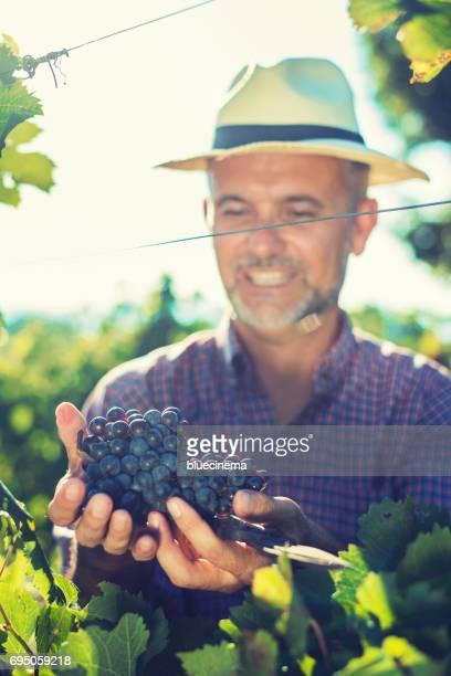 Wijnmaker oogsten van druiven