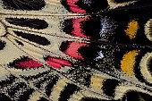Wing underside close-up Bhutanitis mansfieldi