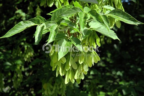 Winged Seeds Of Acer Negundo Tree Stock Photo Thinkstock