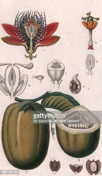Wingedstem passion flower colour copper engraving retouched in watercolour 9x15 cm from Dizionario delle scienze naturali compilato da vari...