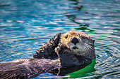 This sea otter floats in the small boat harbor of Seldovia, Alaska in Kachemak bay