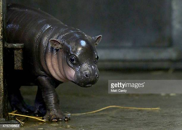 Winnie the new threeweekold baby pygmy hippo walks towards the pool in her enclosure at the pygmy hippo exhibit at Bristol Zoo Gardens on February 26...