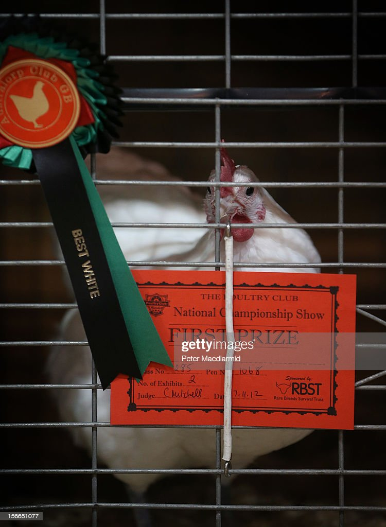 A winning bird at The National Poultry Show on November 17, 2012 in Stoneleigh, England.Thousands of people have attended The Poultry Club's 2012 National Show. The Poultry Club was founded 1877, and was established to safeguard the interests of all pure and traditional breeds of poultry including chickens, ducks, geese and turkeys.