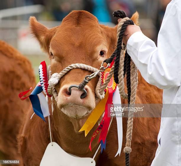 Vache limousine primé à un spectacle de l'agriculture