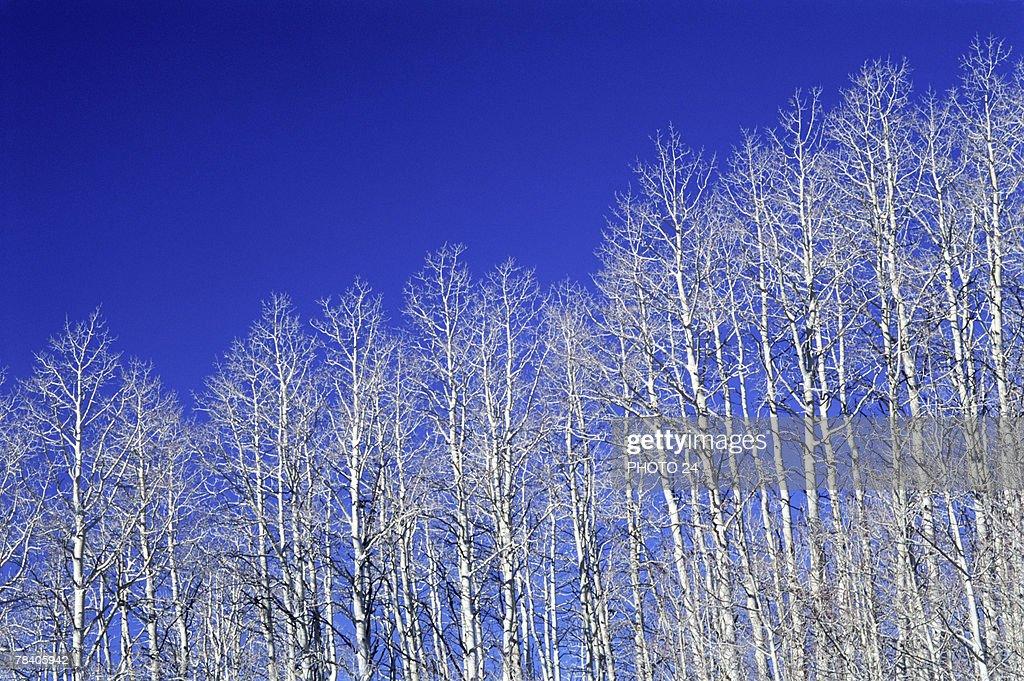 Winter aspen trees : Stock Photo