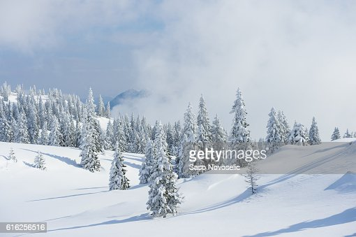 Winter Background With Pine Trees : Foto de stock